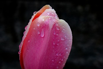 A wet tulip, which looks much prettier than the wet bench.
